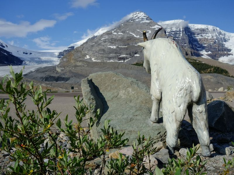 Icefields Centre Mountain Goat